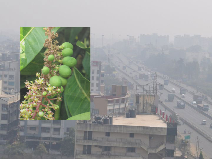 cloudy-weather-in-the-district-the-livelihood-of-mango-farmers-Valsad-ValsadOnline