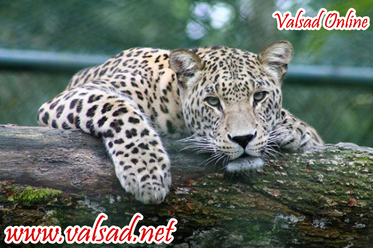 in-the-forest-of-valsad-district-the-population-of-lepords-Valsad-ValsadOnline